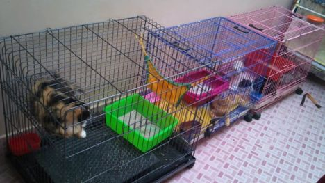 kucing-persia2
